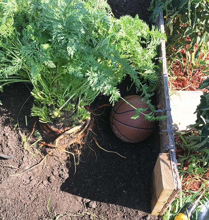 Growing the heaviest carrot