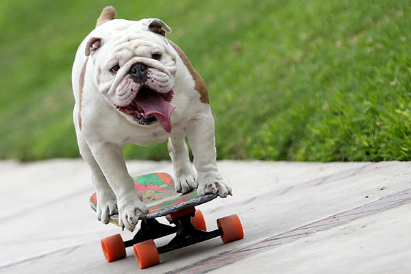 Otto the skateboarding bulldog