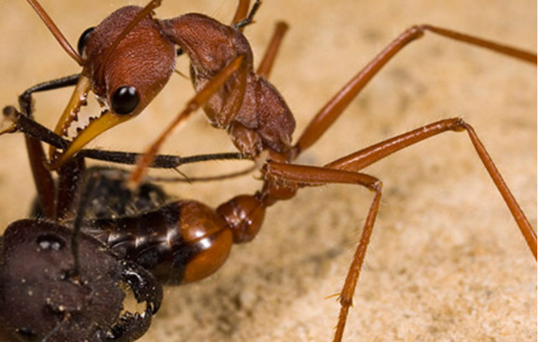 Most dangerous ant